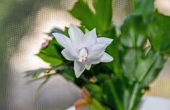 Flor branca, Natal e ação de graças do truncata do Schlumbergera Imagens de Stock