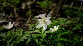 Flor branca no campo fotografia de stock