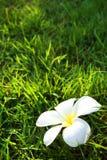 Flor branca no campo de grama Foto de Stock