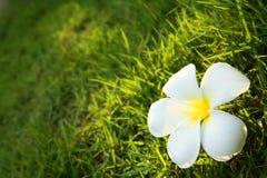 Flor branca no campo de grama Imagens de Stock