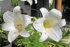 Flor branca no jardim fotografia de stock