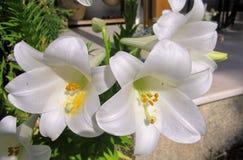 Flor branca no jardim fotos de stock