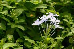 Flor branca no jardim Luz do dia Feche até a natureza fotografia de stock
