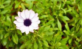 a flor branca nomeada ecklonis do osteospermum igualmente chamou a margarida do cabo com pétalas brancas e o olho roxo em um fund fotos de stock