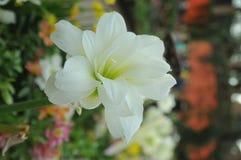Flor branca pequena Fotos de Stock Royalty Free