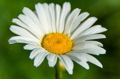 A flor branca pequena 3 Imagens de Stock Royalty Free