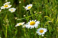 A flor branca pequena 1 Foto de Stock Royalty Free