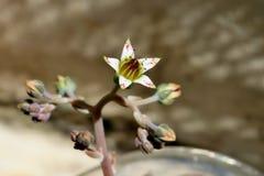 Flor branca pequena bonita com os pontos cor-de-rosa no fundo cinzento imagem de stock