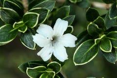 Flor branca pequena entre as folhas verdes Imagens de Stock