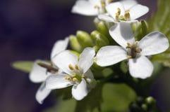 Flor branca pequena muito acima do fim Fotografia de Stock