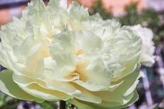 Flor branca perfumada da peônia da árvore na flor completa imagens de stock