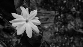 Flor branca preto e branco Fotografia de Stock Royalty Free
