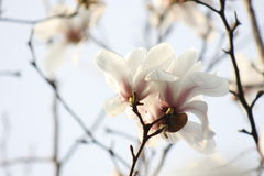Flor branca pura da magnólia que floresce no ramo Fotografia de Stock