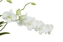 Flor branca pura da orquídea no isolado Fotos de Stock Royalty Free
