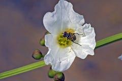 Flor branca que está sendo polinizada pela espécie de mosca Fotografia de Stock Royalty Free