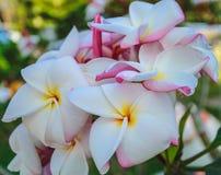 Flor branca que floresce, jardim perfumado do frngipani Fotos de Stock Royalty Free