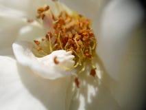 Flor branca que mostra as pétalas com detalhe com lente macro Imagem de Stock