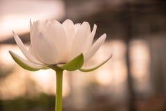 flor branca romântica Imagem de Stock Royalty Free