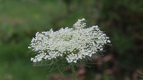 Flor branca selvagem video estoque