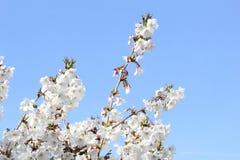 A flor branca sereno ramifica em um céu azul Imagens de Stock Royalty Free
