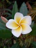 Flor branca Tailândia do champa Imagem de Stock Royalty Free