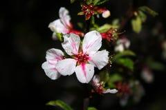 Flor branca vermelha bonita da cereja na noite, fundo escuro imagens de stock