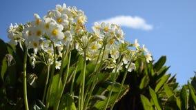 Flor branca, vermelha e amarela bonita do tauricum do aconitum dos cumes na luz do sol do verão video estoque