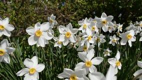 Flor branca, vermelha e amarela bonita do tauricum do aconitum dos cumes na luz do sol do verão vídeos de arquivo