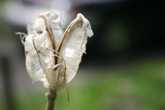 Flor branca Withered imagem de stock royalty free
