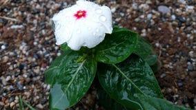 Flor branca 1x Foto de Stock Royalty Free