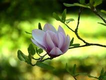 flor Branco-cor-de-rosa da magnólia Foto de Stock