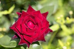 Flor brilhante da rosa do vermelho em um fundo verde Fotos de Stock Royalty Free