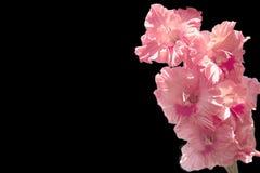 Flor brilhante de um tipo de flor cor-de-rosa em um fundo preto Fotos de Stock Royalty Free