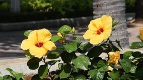 Flor brillante amarilla hermosa de un hibisco que agita en el viento metrajes