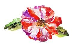 Flor brillante de la amapola aislada en el fondo blanco Imágenes de archivo libres de regalías