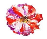 Flor brillante de la amapola aislada en el fondo blanco Fotografía de archivo libre de regalías