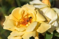 Flor brillante de la rosa del amarillo con el fondo natural del insecto de la abeja Foto de archivo libre de regalías