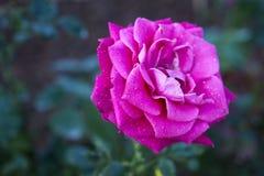Flor brillante de la rosa del rosa con rocío en los pétalos imágenes de archivo libres de regalías