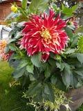 Flor brillante del teñido anudado Fotografía de archivo