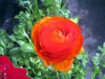 flor Brillante-roja de la primavera Mariposa del asiático del ranúnculo primer foto de archivo libre de regalías