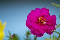 Flor brillante rosada en fondo azul Foto macra imagen de archivo libre de regalías