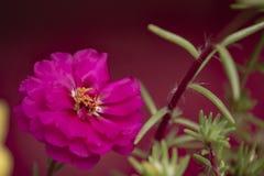 Flor brillante rosada en fondo rojo oscuro Foto macra imagen de archivo