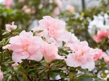Flor-brote rosado y blanco delicado del rododendro, Fotos de archivo libres de regalías
