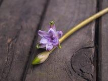 Flor, brote y hojas fragantes rosados delicados de un jacinto de la primavera de la primavera en el fondo blanco Imagenes de archivo