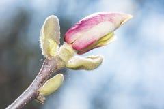 Flor Bud Blossom de la magnolia Imágenes de archivo libres de regalías