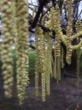 Flor côr de avelã Imagens de Stock Royalty Free