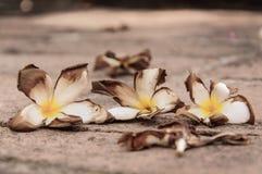 Flor caída Fotografia de Stock