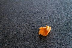 Flor caída na estrada escura Fotografia de Stock Royalty Free