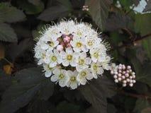 Flor Canadá del jardín Imágenes de archivo libres de regalías