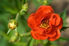 Flor carmesí del Potentilla Imagen de archivo